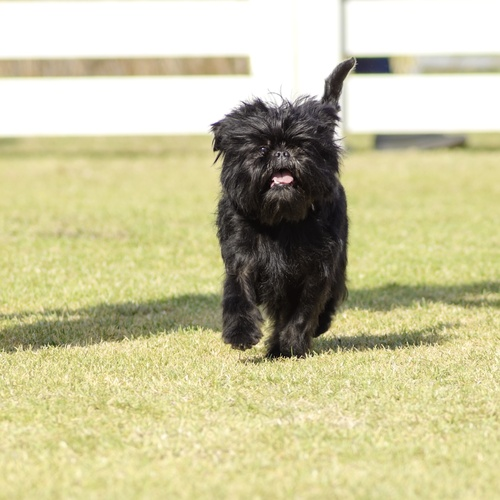 Affenpinscher puppies for sale at Canine Corral Huntington Station, NY 11746