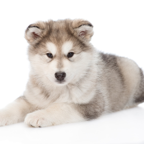 Alaskan Husky puppy for sale at Canine Corral Huntington Station, NY 11746