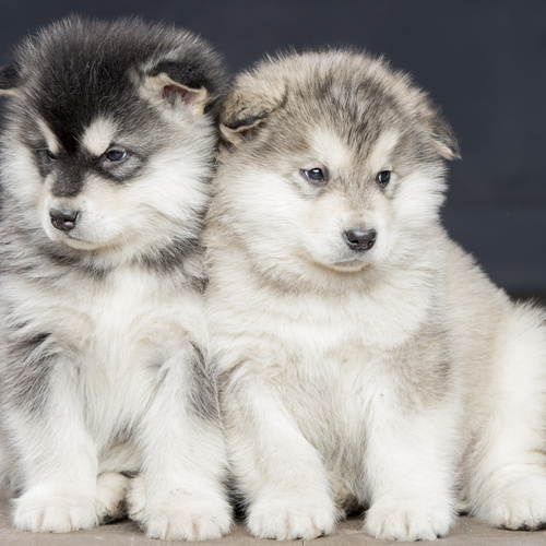 Alaskan Malamute puppy for sale at Canine Corral Huntington Station, NY 11746