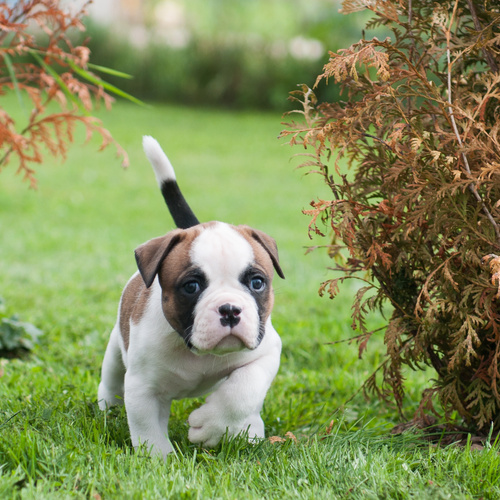 American Bulldog puppy for sale at Canine Corral Huntington Station, NY 11746