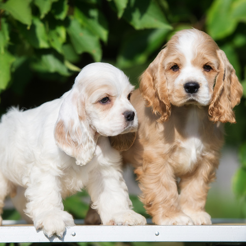 American Cocker Spaniel puppies for sale at Canine Corral Huntington Station, NY 11746