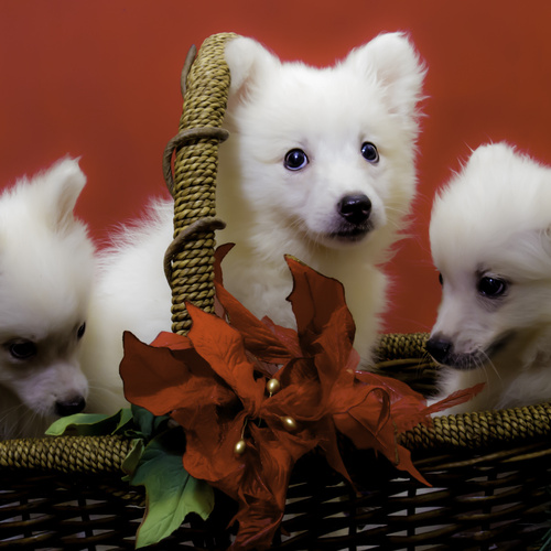 American Eskimo Dog puppies for sale at Canine Corral Huntington Station, NY 11746