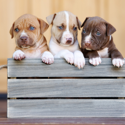 American Pit Bull Terrier puppies for sale at Canine Corral Huntington Station, NY 11746