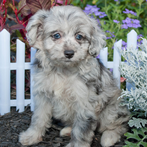 Aussiepoo puppy for sale at Canine Corral Huntington Station, NY 11746