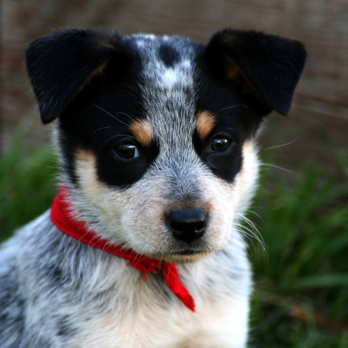 Australian Cattle Dog puppy for sale at Canine Corral Huntington Station, NY 11746
