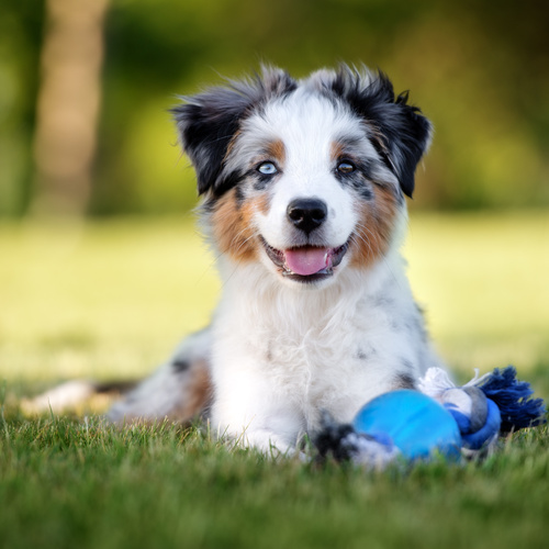 Australian Shepherd puppies for sale at Canine Corral Huntington Station, NY 11746