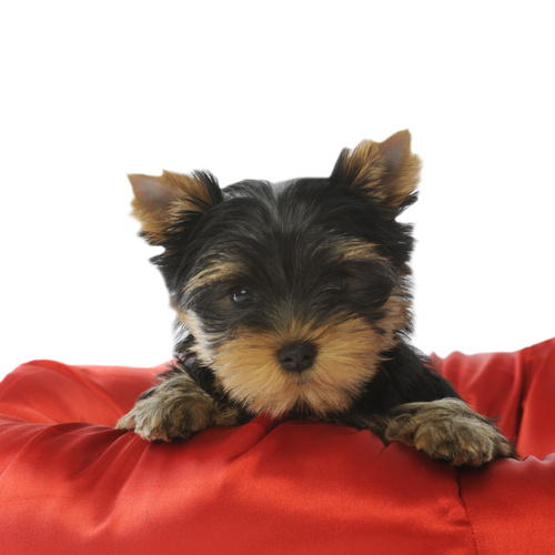 Australian Silky Terrier puppy for sale at Canine Corral Huntington Station, NY 11746
