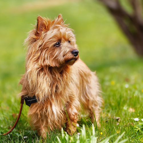 Australian Terrier puppy for sale at Canine Corral Huntington Station, NY 11746