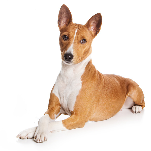 Basenji puppy for sale at Canine Corral Huntington Station, NY 11746