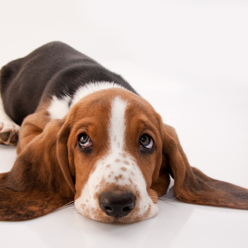 Basset Hound puppy for sale at Canine Corral Huntington Station, NY 11746