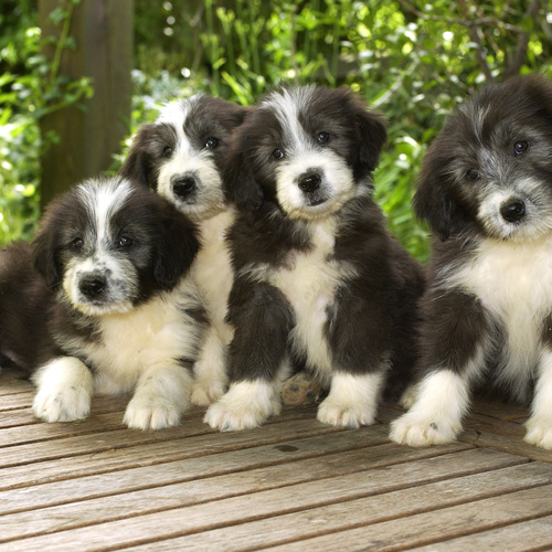Bearded Collie puppies for sale at Canine Corral Huntington Station, NY 11746
