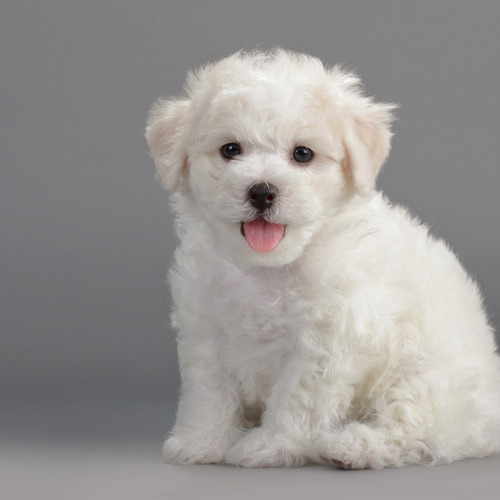 Bichon Frise puppy for sale at Canine Corral Huntington Station, NY 11746