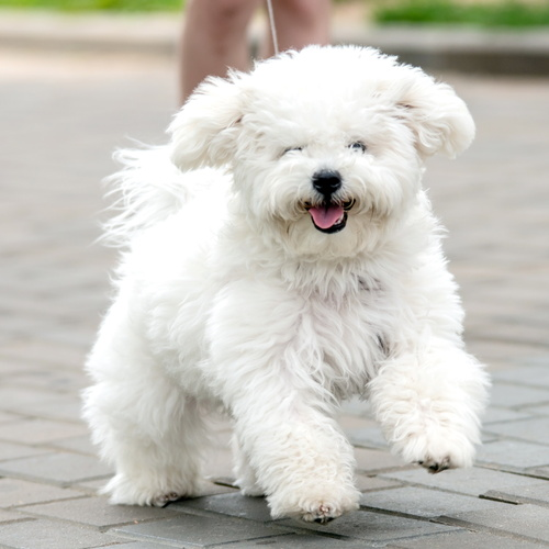 Bichonpoo puppy for sale at Canine Corral Huntington Station, NY 11746