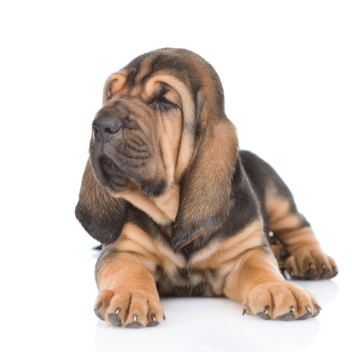 Bloodhound puppy for sale at Canine Corral Huntington Station, NY 11746