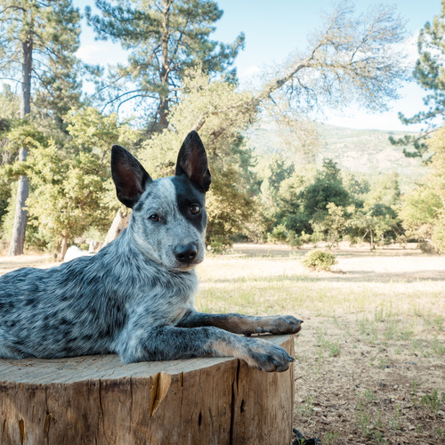 Blue Heeler puppy for sale at Canine Corral Huntington Station, NY 11746