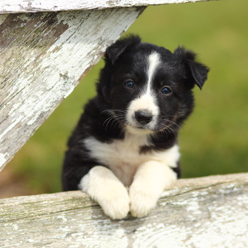 Border Collie puppies for sale at Canine Corral Huntington Station, NY 11746