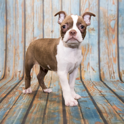 Boston Terrier puppy for sale at Canine Corral Huntington Station, NY 11746