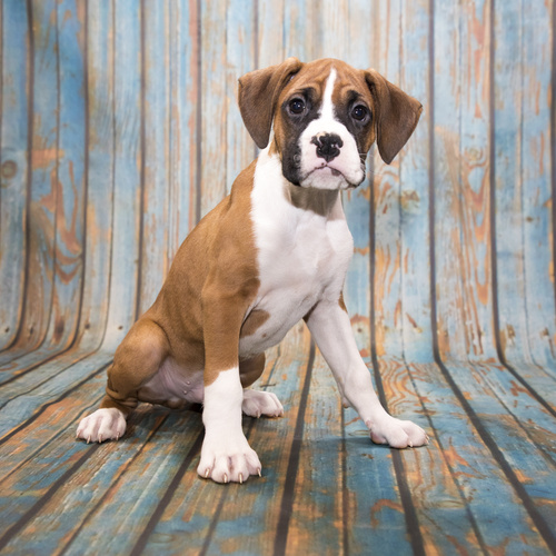 Boxer puppy for sale at Canine Corral Huntington Station, NY 11746