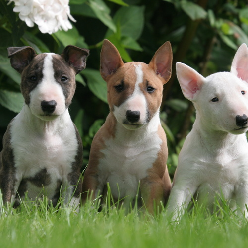 Bull Terrier puppies for sale at Canine Corral Huntington Station, NY 11746