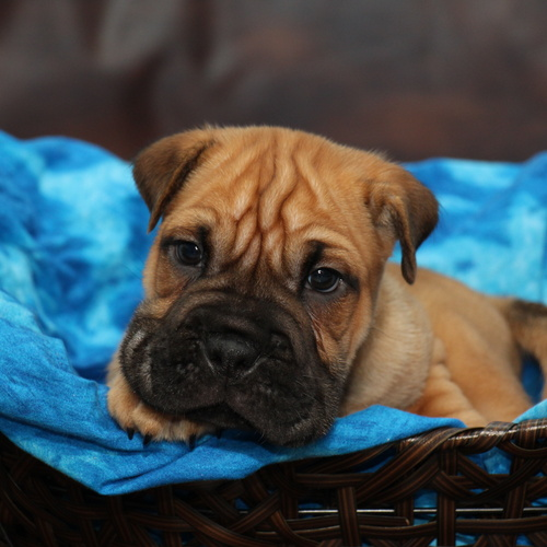 Bully Pei puppy for sale at Canine Corral Huntington Station, NY 11746