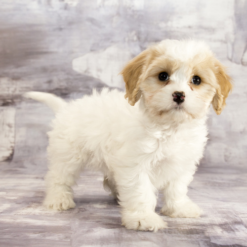 Cavachon puppy for sale at Canine Corral Huntington Station, NY 11746