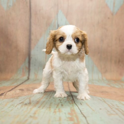 Cavalier King Charles Spaniel puppies for sale at Canine Corral Huntington Station, NY 11746
