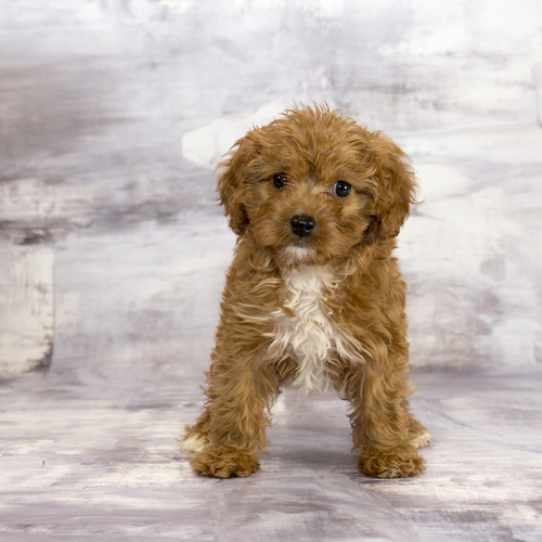 Cavapoo puppy for sale at Canine Corral Huntington Station, NY 11746