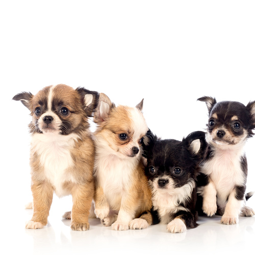 Chihuahua puppy for sale at Canine Corral Huntington Station, NY 11746