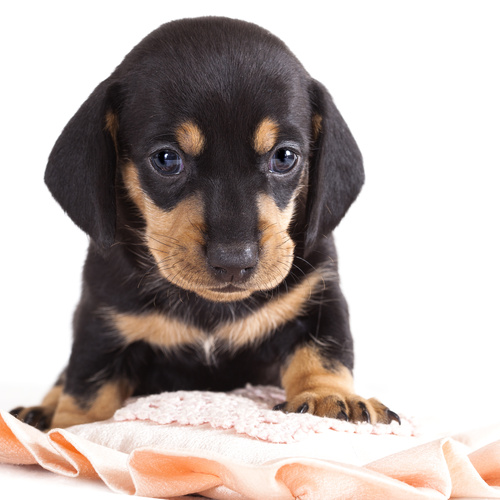 Chiweenie puppy for sale at Canine Corral Huntington Station, NY 11746
