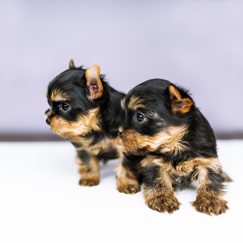 Chorkie puppies for sale at Canine Corral Huntington Station, NY 11746
