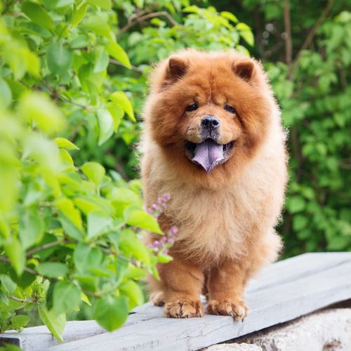Chow Chow puppy for sale at Canine Corral Huntington Station, NY 11746