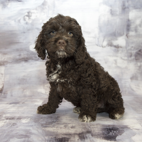Cockapoo puppy for sale at Canine Corral Huntington Station, NY 11746