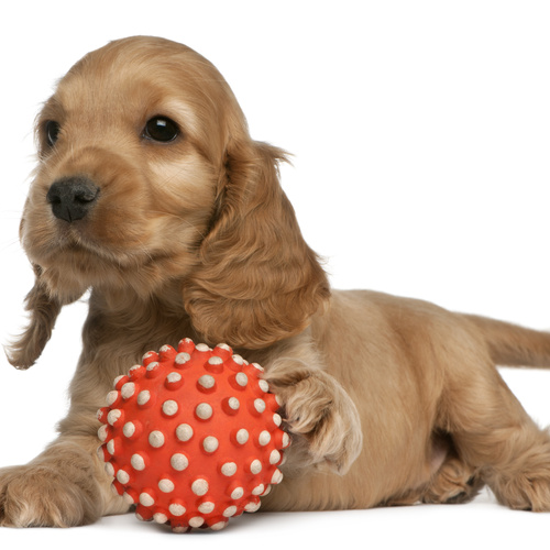 Cocker Spaniel puppy for sale at Canine Corral Huntington Station, NY 11746