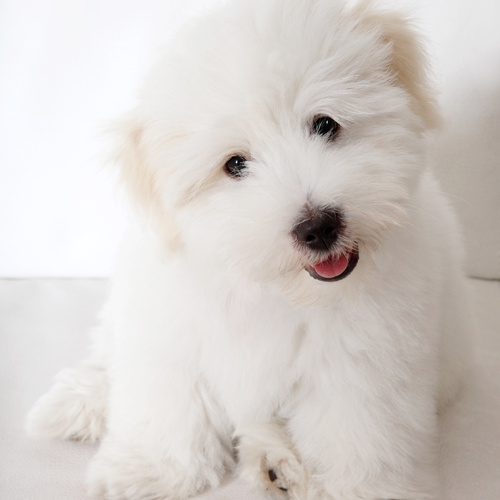 Coton De Tulear puppies for sale at Canine Corral Huntington Station, NY 11746
