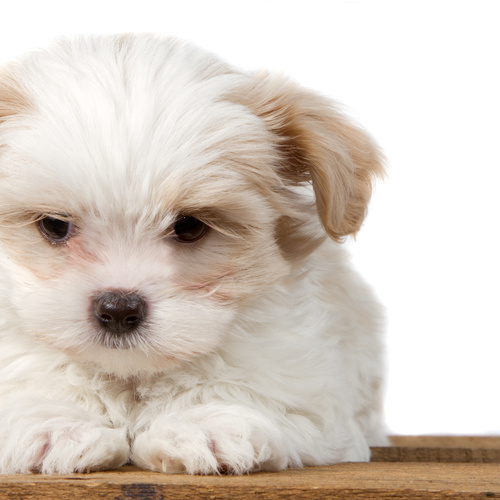 Coton Tzu puppy for sale at Canine Corral Huntington Station, NY 11746