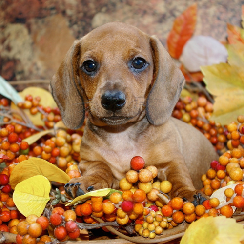 Dachshund puppy for sale at Canine Corral Huntington Station, NY 11746