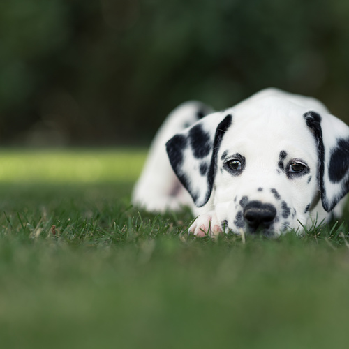 Dalmatian puppy for sale at Canine Corral Huntington Station, NY 11746
