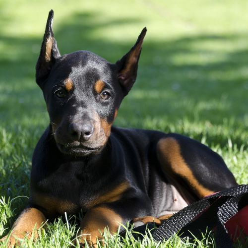 Doberman Pinscher puppy for sale at Canine Corral Huntington Station, NY 11746