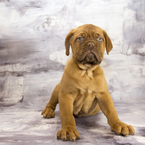 Dogue de Bordeaux puppies for sale at Canine Corral Huntington Station, NY 11746
