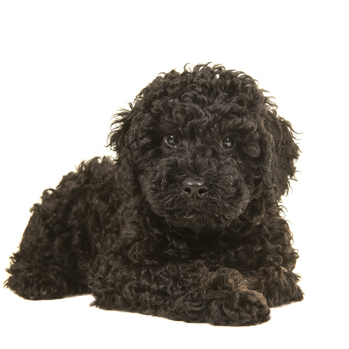 Double Doodle puppy for sale at Canine Corral Huntington Station, NY 11746