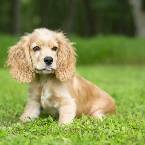 English Cocker Spaniel puppy for sale at Canine Corral Huntington Station, NY 11746