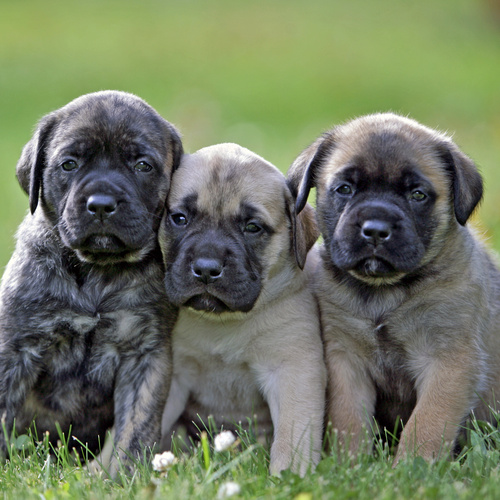 English Mastiff puppy for sale at Canine Corral Huntington Station, NY 11746