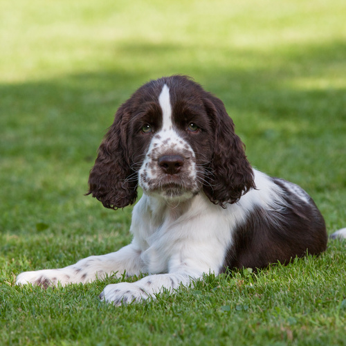 English Springer Spaniel puppies for sale at Canine Corral Huntington Station, NY 11746