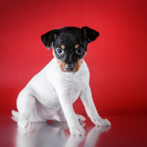 Smooth Fox Terrier puppy for sale at Canine Corral Huntington Station, NY 11746