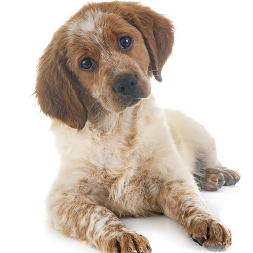 French Brittany puppy for sale at Canine Corral Huntington Station, NY 11746