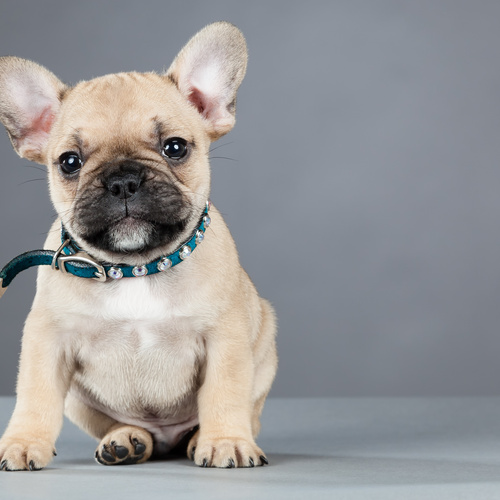French Bulldog puppy for sale at Canine Corral Huntington Station, NY 11746
