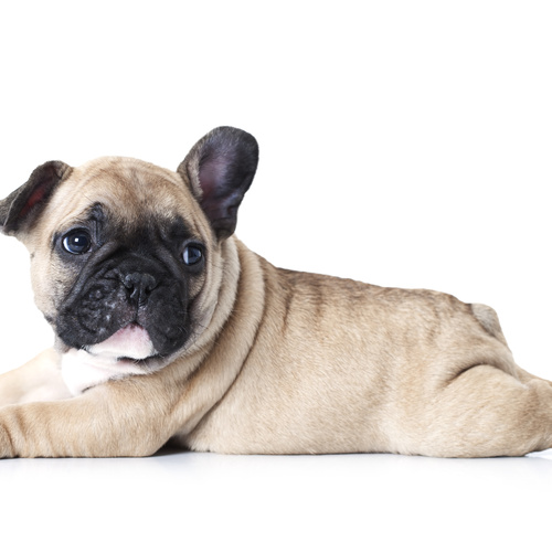 Frenchie X puppy for sale at Canine Corral Huntington Station, NY 11746