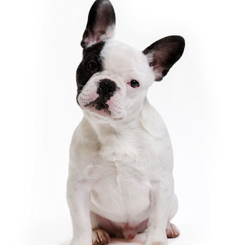Frenchton puppy for sale at Canine Corral Huntington Station, NY 11746