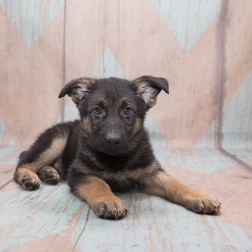 German Shepherd Dog puppy for sale at Canine Corral Huntington Station, NY 11746