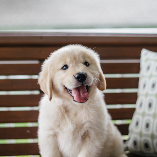Golden Retriever puppies for sale at Canine Corral Huntington Station, NY 11746